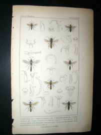 Cuvier C1835 Antique Hand Col Print. Astata, Oybelus, Meltinus, 81 Insects